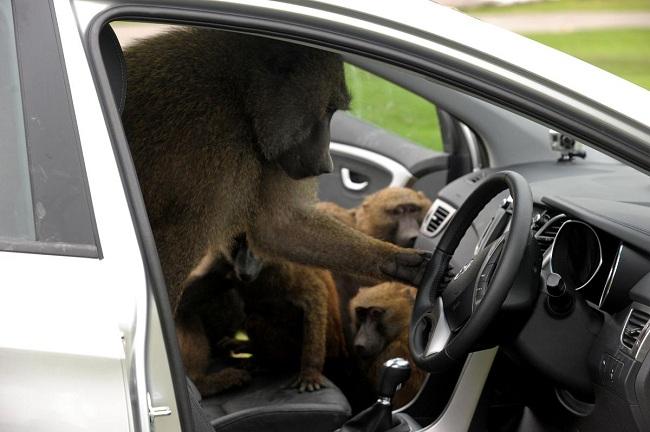 В Массачусетсе гориллам запрещено находиться на заднем сидении автомобиля
