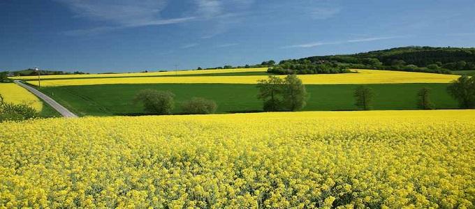 На данный момент самым распространённым сырьём для производства биотоплива является рапс