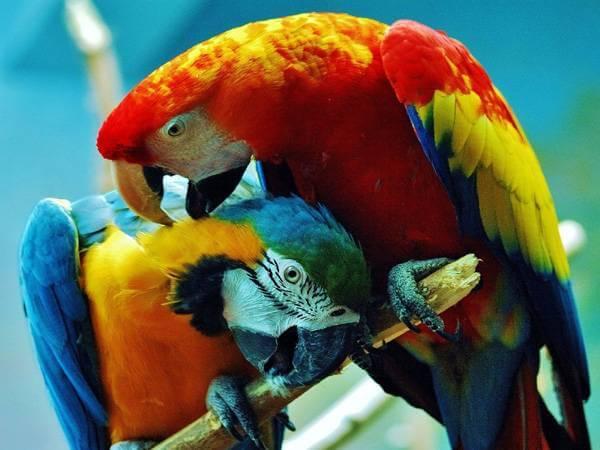 Крупные попугаи Ара
