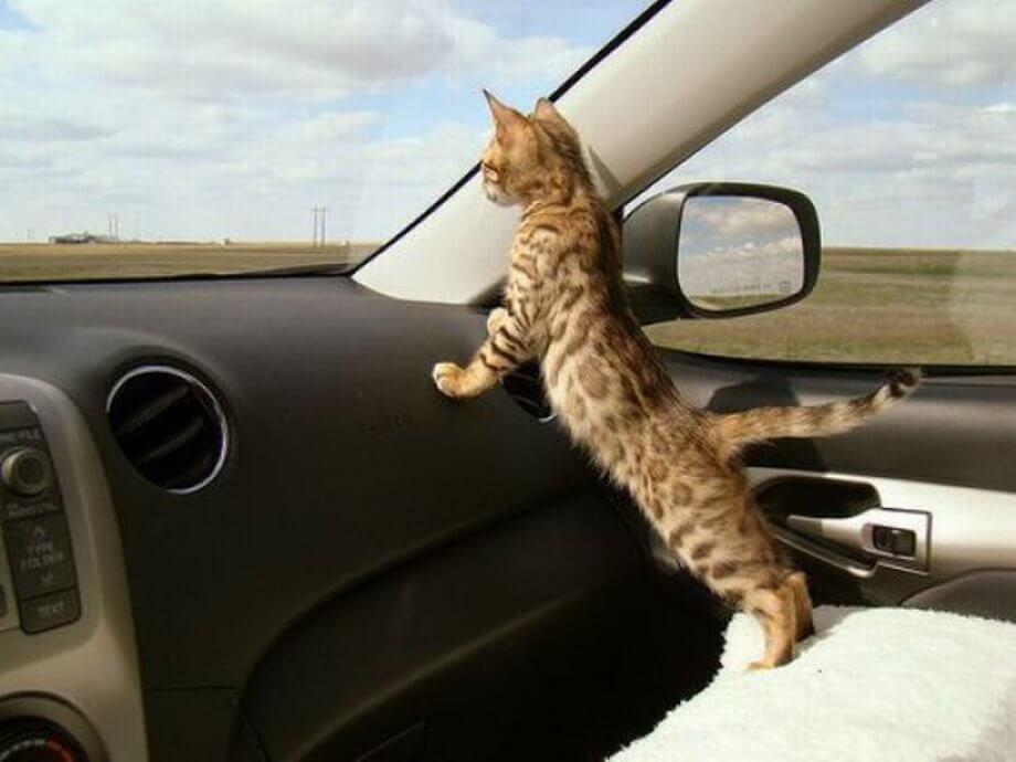 Перевозка кота в автомобиле