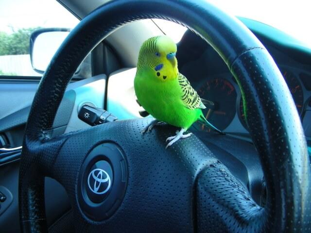 Перевозка попугая в автомобиле